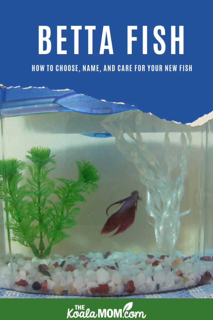 Betta fish: how to choose, name, and care for your Siamese fighting fish