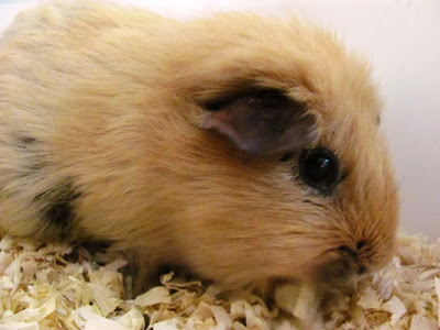 Rose the Guinea Pig from Preschool
