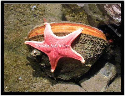 A pink starfish on a clam shell at the Pacific Undersea Gardens in Victoria, BC