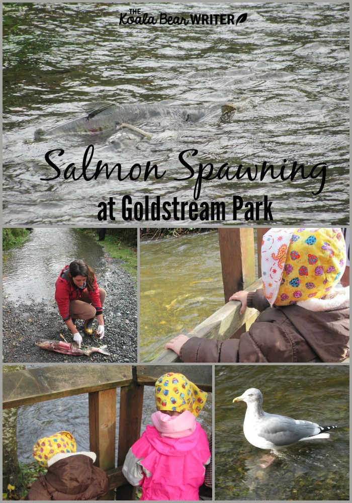 Salmon spawning at Goldstream Park