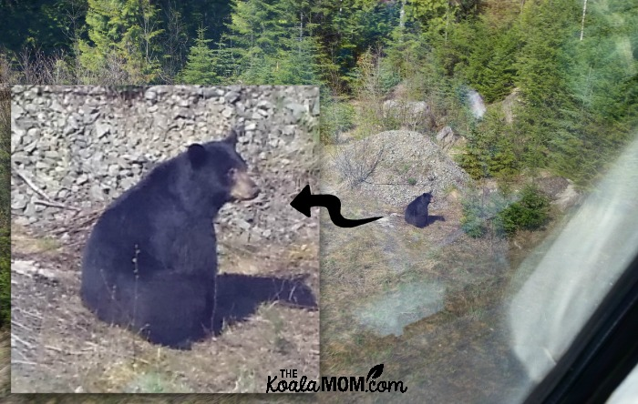 Bear sighted from a train, with inset enlarged to show better picture.