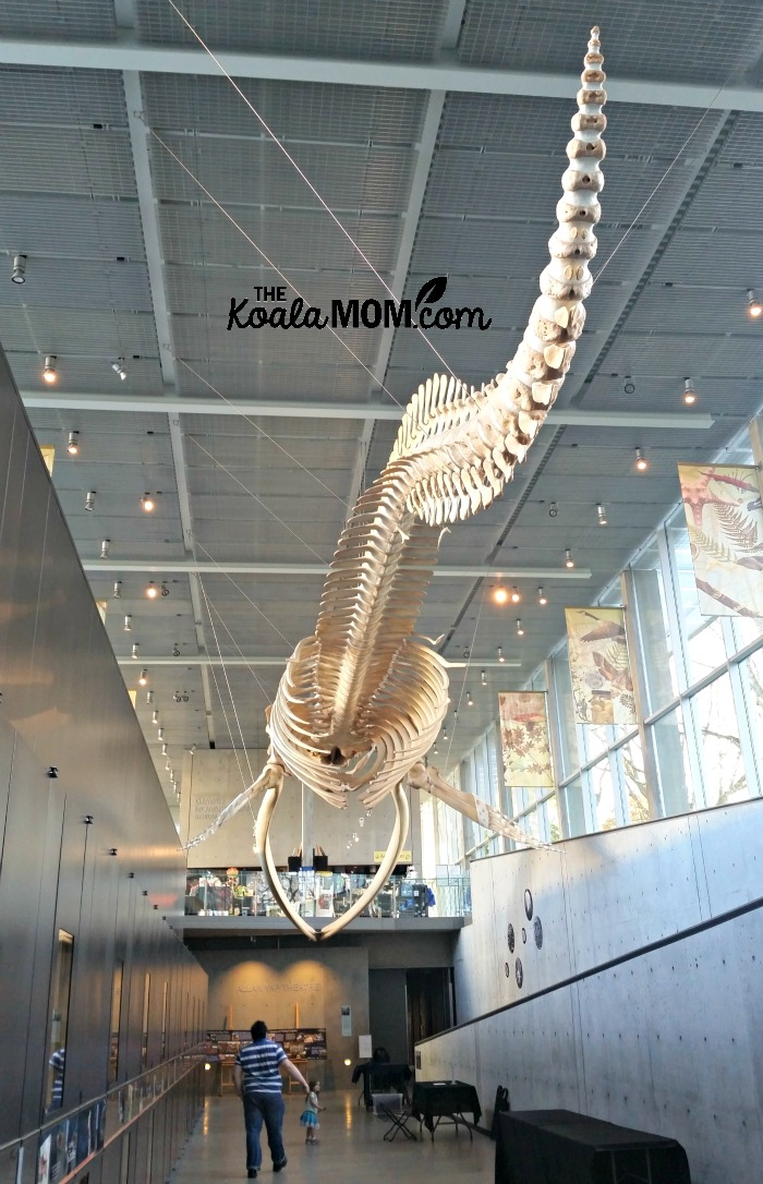 Blue whale skeleton at the Beaty Biodiversity Museum