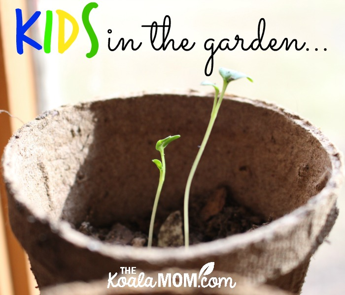 Kids in the Garden (two sprouds growing in a peat pot by a window)