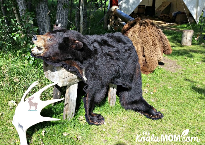 Bear skin at Rocky Mountain House National Historic Site