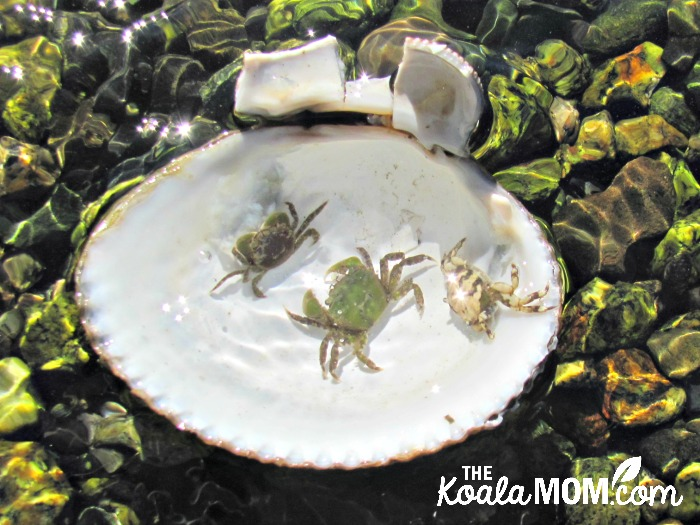 Crabs in a shell at Coles Bay