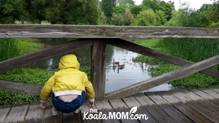 Two-year-old Pearl squats down on a bridge to watch a family of Canada Geese.