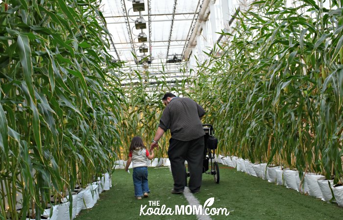 Daddy and toddler in the corn maze at Harvest Glow.