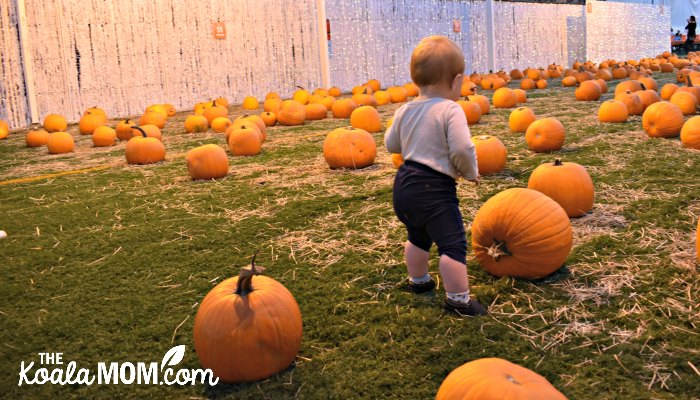 Baby standing in the pumpkin patch at Harvest Glow.