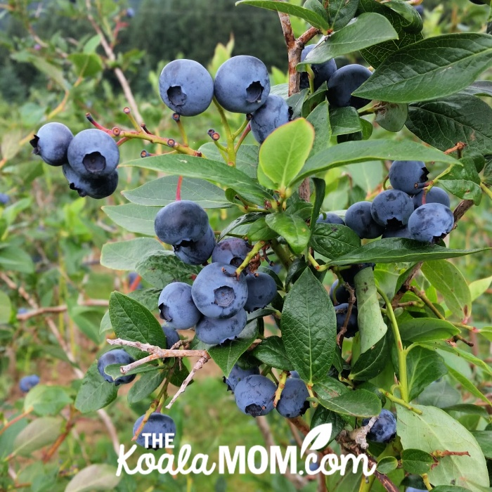 Blueberries on a bush.