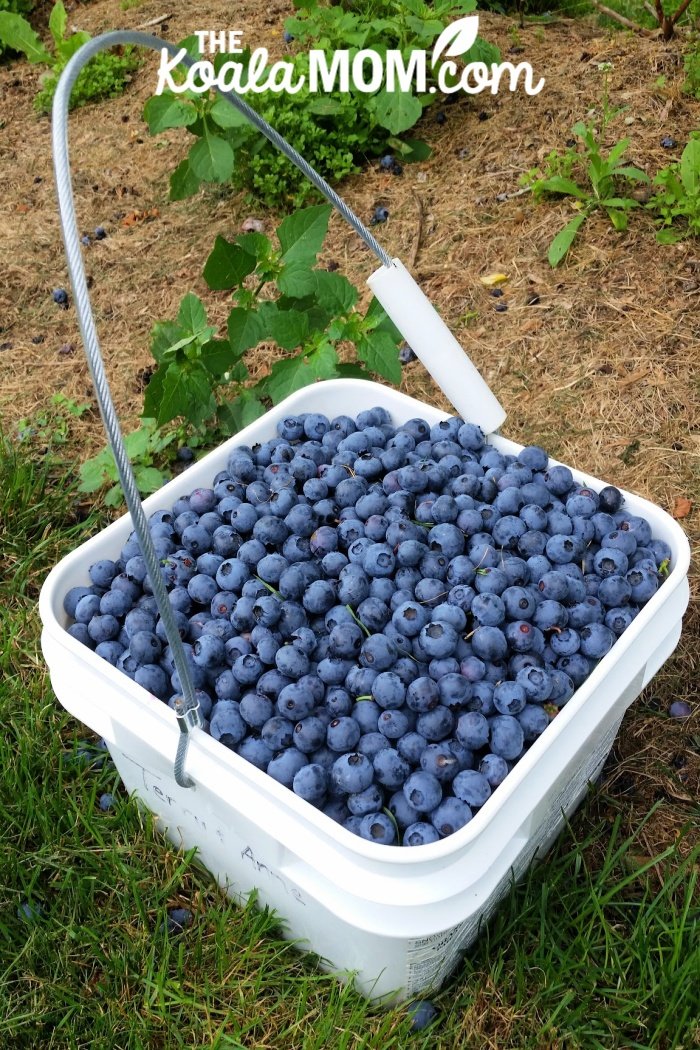 Large bucket full of freshly-picked blueberries.