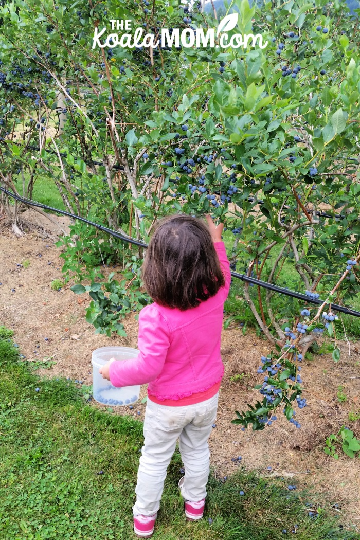 Toddler in pink jacket picking berries.