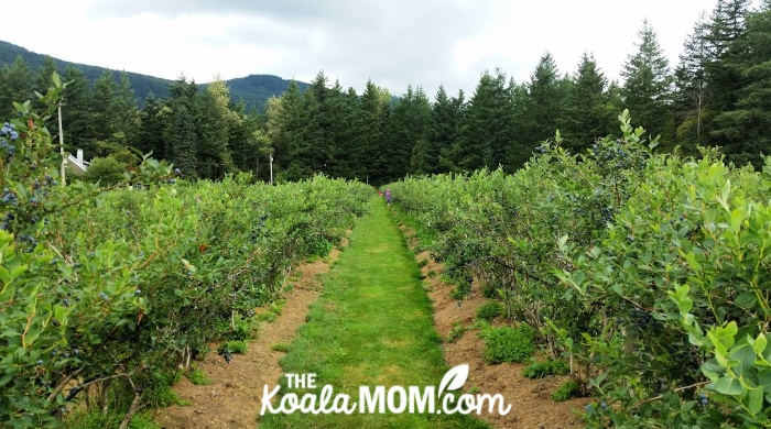 A row of blueberry bushes at a u-pick farm near Cultus Lake, BC.