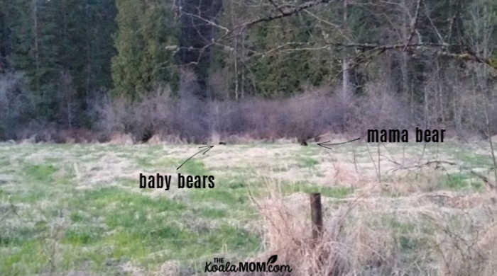 bear family eating in a marsh.