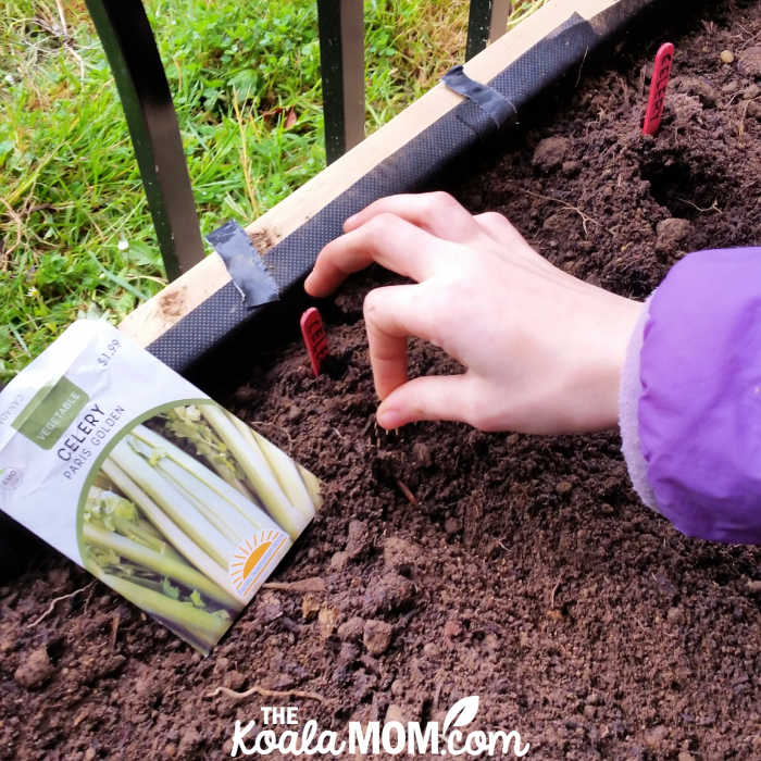 Planting celery in our patio garden box in the spring.