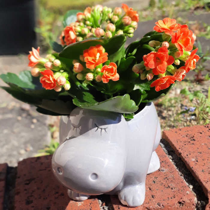 Orange flowers in a white sleeping hippo vase on a brick wall.