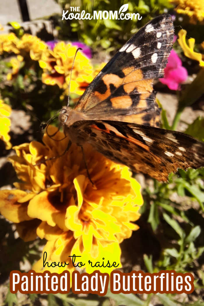 How to raise painted lady butterflies.