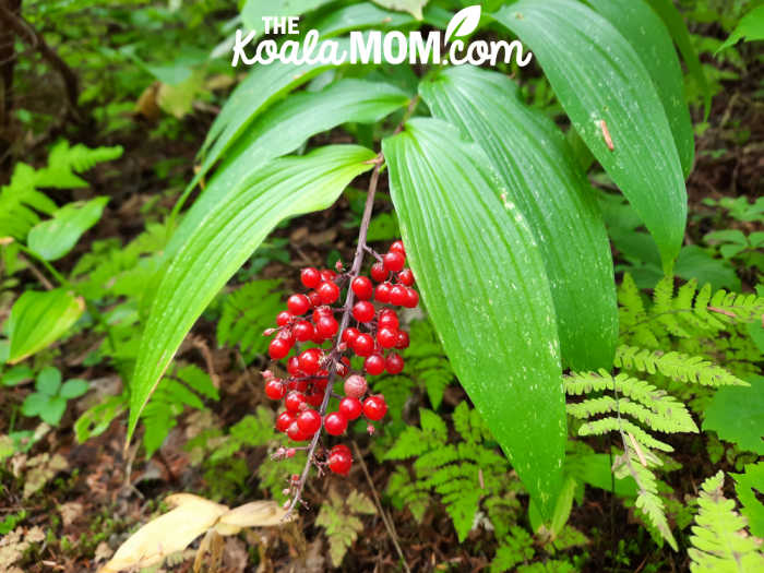 Another red berry plant on the West Lake Loop Trail in Wells Gray.